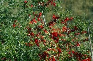 Photo of Yaupon Holly tree