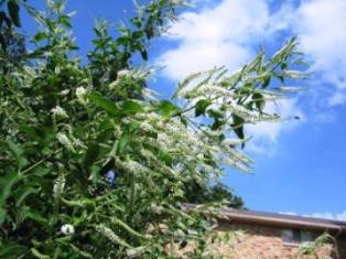 Photo of Sweet Almond Verbena plant