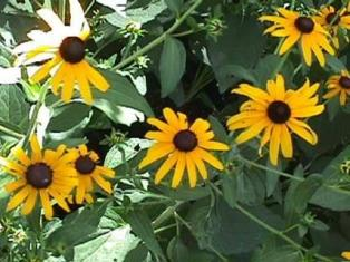 Photo of the Black-Eyed Susan plant