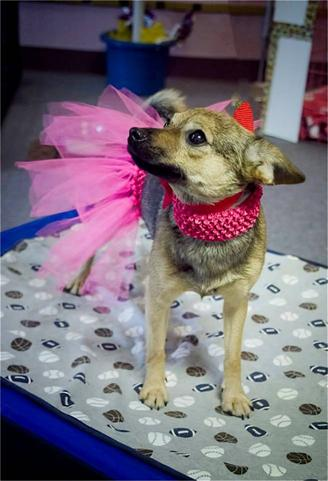 animal shelter dog in tutu_thumb.jpg